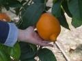 Esemplari rari di agrumi