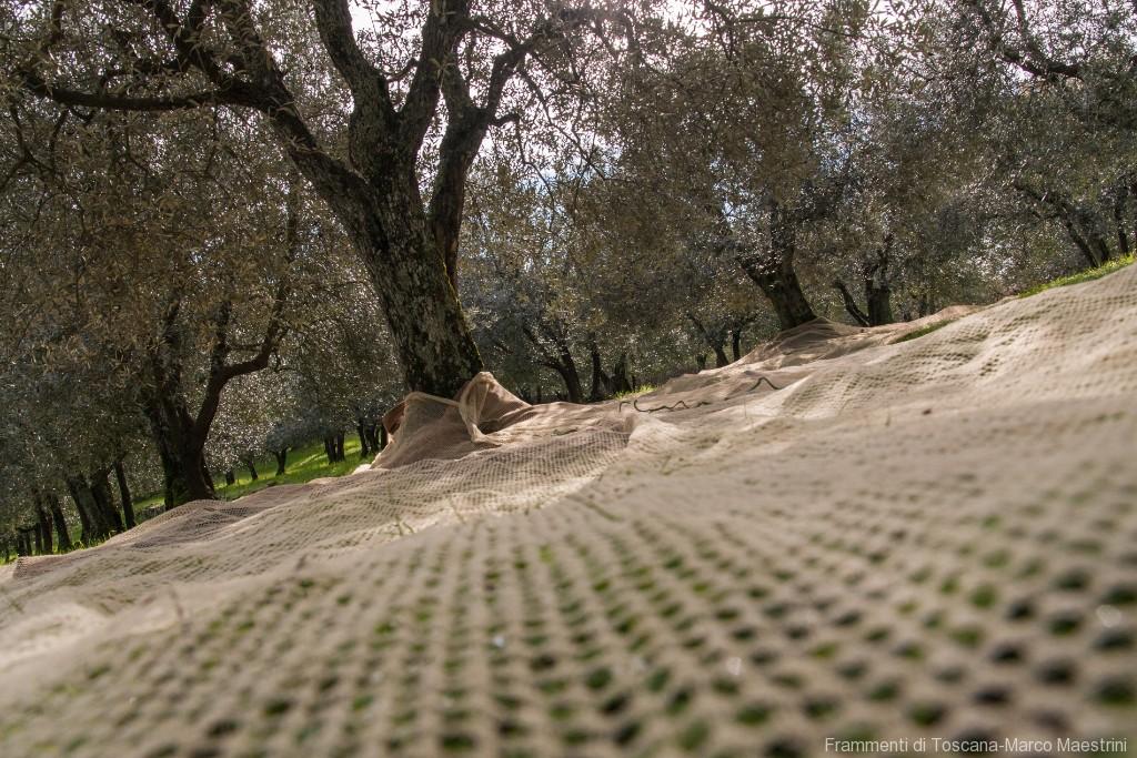 Raccolta delle olive - 1