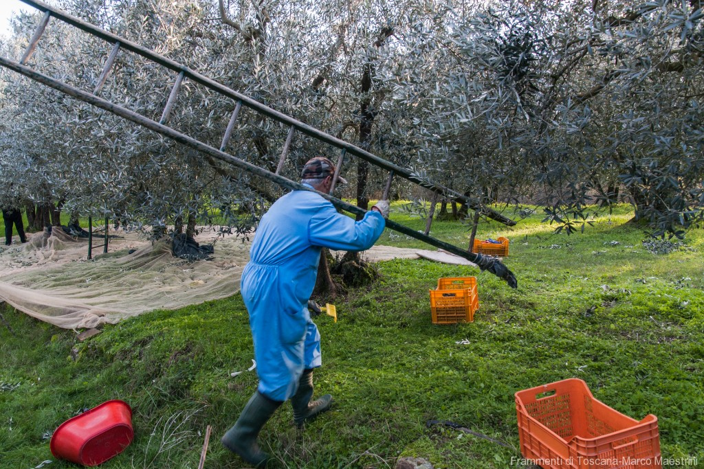 Raccolta delle olive - 7
