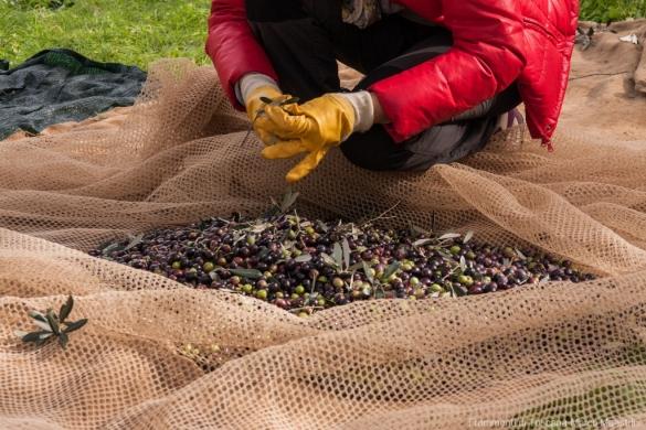 Raccolta delle olive - 10