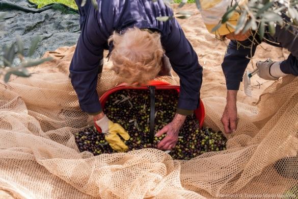 Raccolta delle olive - 11
