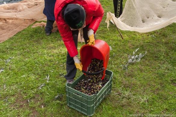 Raccolta delle olive - 12