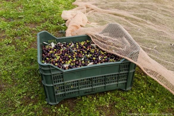 Raccolta delle olive - 13