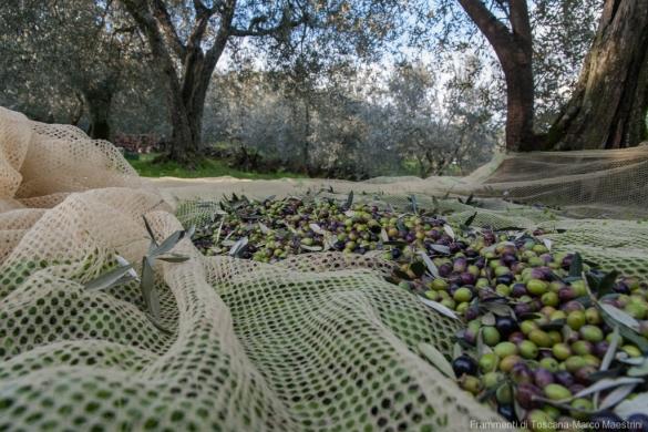 Raccolta delle olive - 14