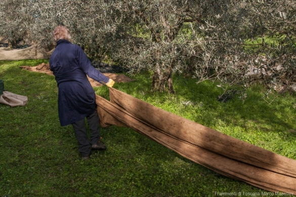Raccolta delle olive - 2