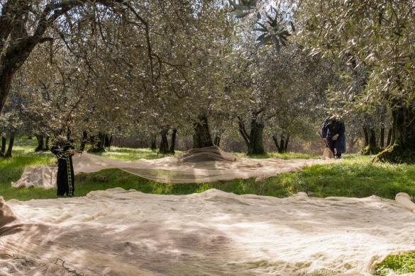 Raccolta delle olive -4-1