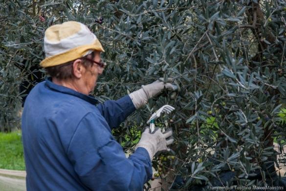 Raccolta delle olive - 5