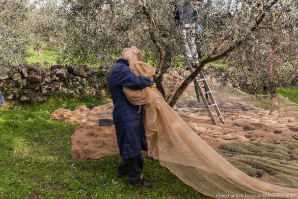Raccolta delle olive - 9