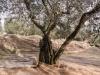 Raccolta delle olive - 4