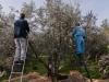 Raccolta delle olive - 6