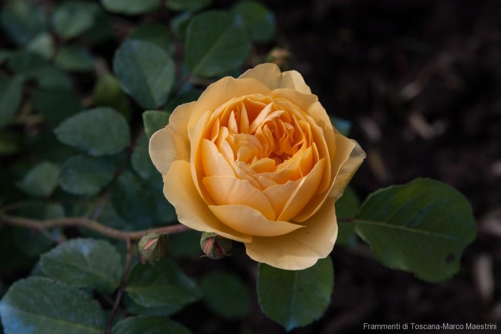 Un giardino di rose antiche
