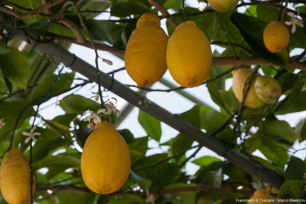 Esemplari-rari-di-agrumi